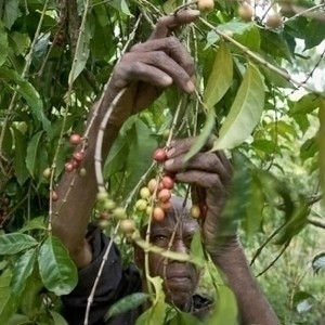 Ethiopia Kossa Co2 Decaf