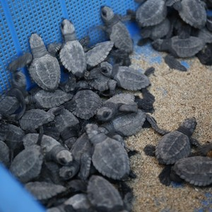 Pacific Rescue - San Pancho Turtle